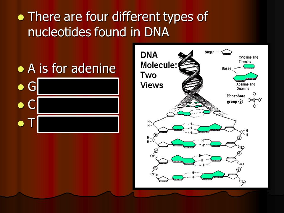 There are four different types of nucleotides found in DNA There are four different types of nucleotides found in DNA A is for adenine A is for adenine G is for guanine G is for guanine C is for cytosine C is for cytosine T is for thymine T is for thymine