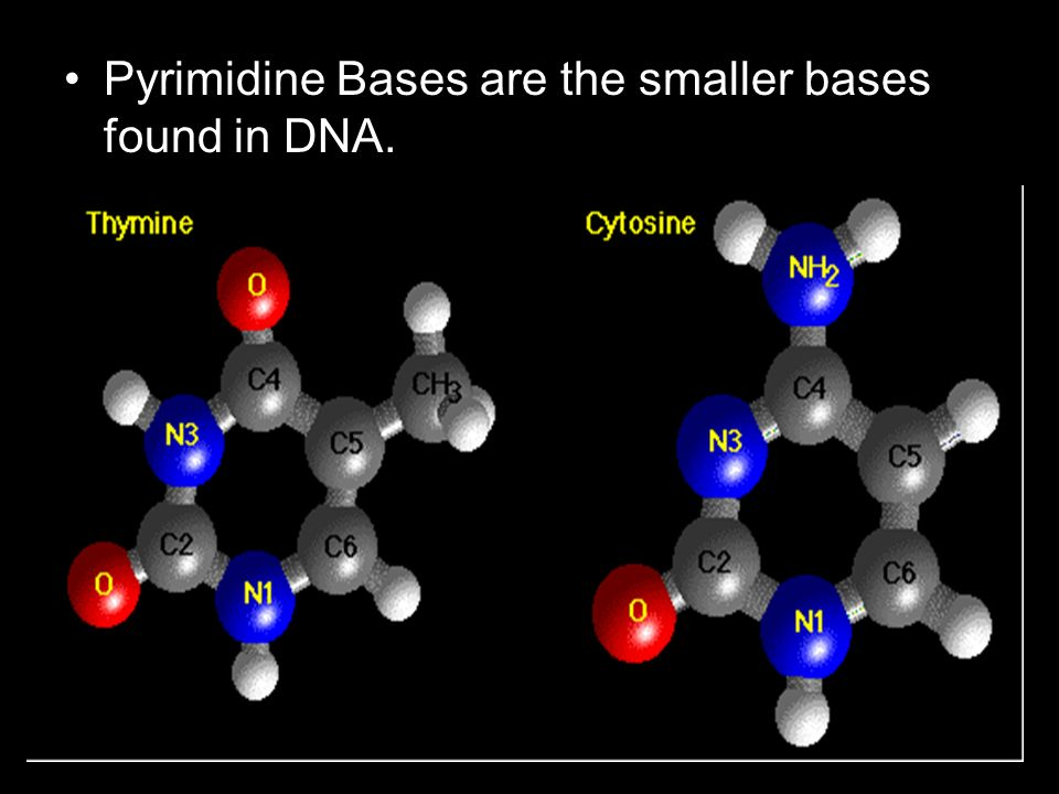 Pyrimidine Bases are the smaller bases found in DNA.