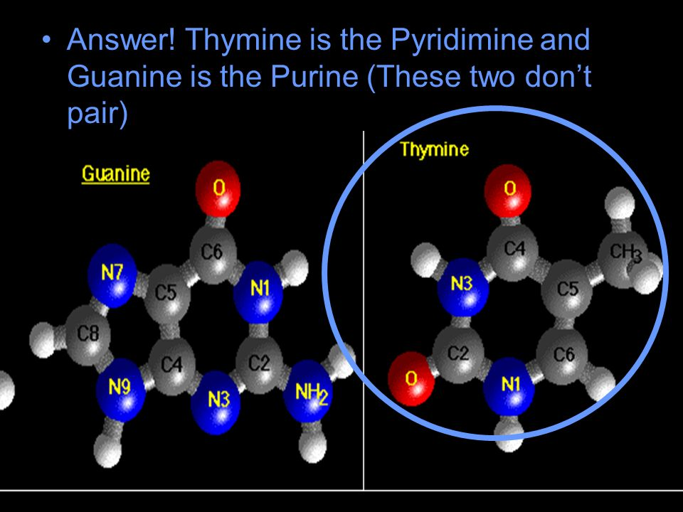 Answer! Thymine is the Pyridimine and Guanine is the Purine (These two dont pair)