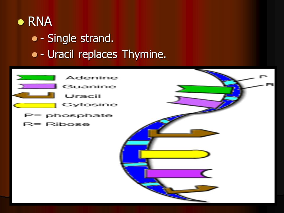 RNA RNA - Single strand. - Single strand. - Uracil replaces Thymine. - Uracil replaces Thymine.