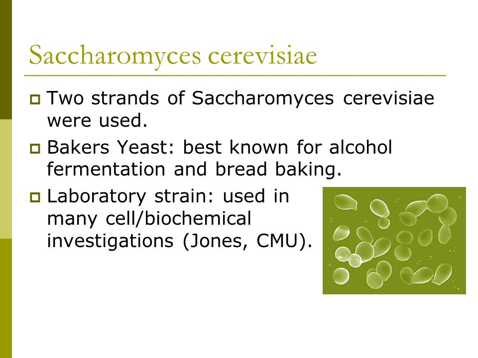 Saccharomyces cerevisiae as a Model The most investigated cell in the world.
