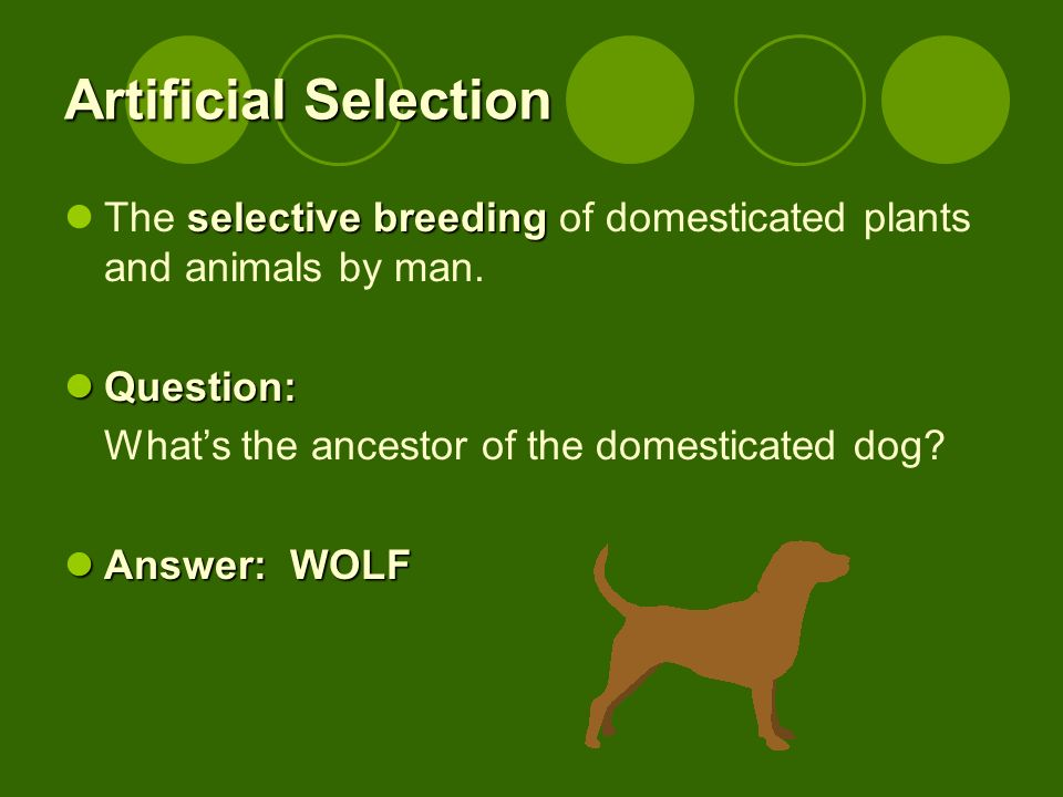 Artificial Selection selective breeding The selective breeding of domesticated plants and animals by man. Question: Question: Whats the ancestor of th