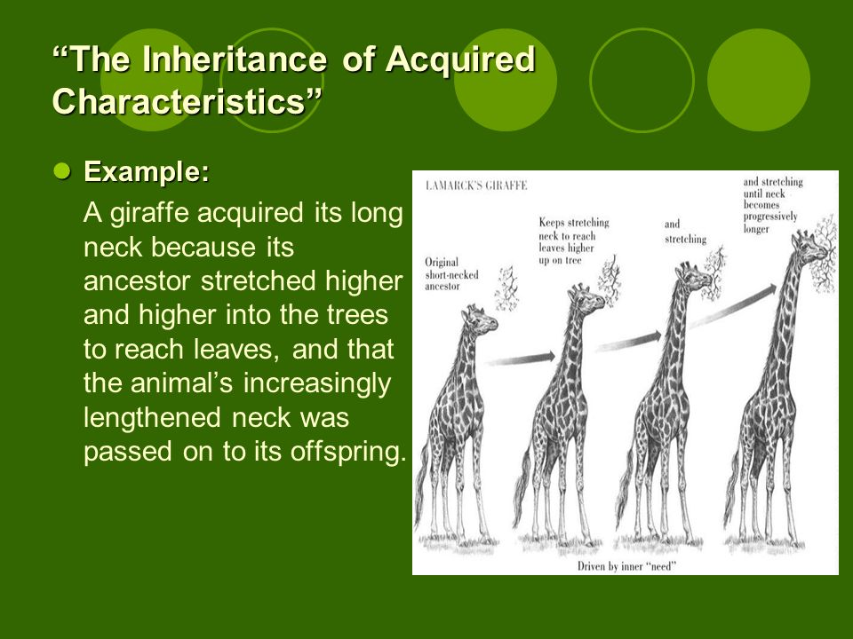 The Inheritance of Acquired Characteristics Example: Example: A giraffe acquired its long neck because its ancestor stretched higher and higher into t