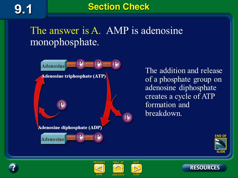 Section 1 Check Question 3 A molecule of adenosine that has one phosphate group bonded to it is ______. A. AMP B. ADP C. ATP D. ACP