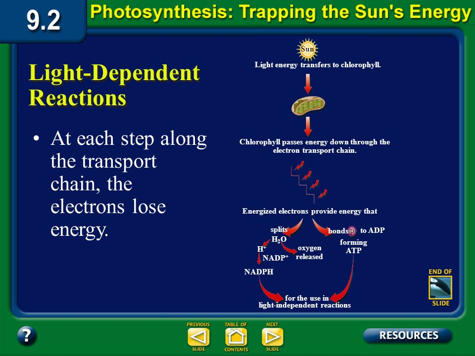 Section 9.2 Summary – pages 225-230 Light-Dependent Reactions As sunlight strikes the chlorophyll molecules in a photosystem of the thylakoid membrane