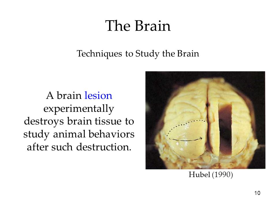 10 The Brain Techniques to Study the Brain A brain lesion experimentally destroys brain tissue to study animal behaviors after such destruction. Hubel