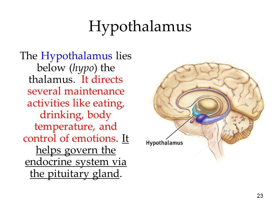 23 Hypothalamus The Hypothalamus lies below (hypo) the thalamus. It directs several maintenance activities like eating, drinking, body temperature, an