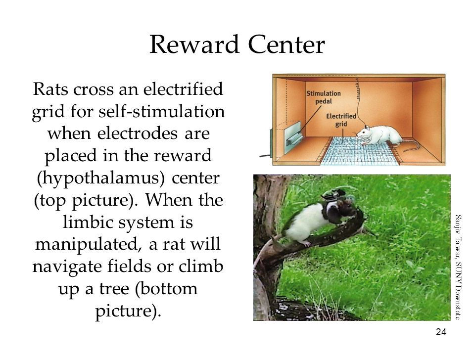24 Rats cross an electrified grid for self-stimulation when electrodes are placed in the reward (hypothalamus) center (top picture). When the limbic s