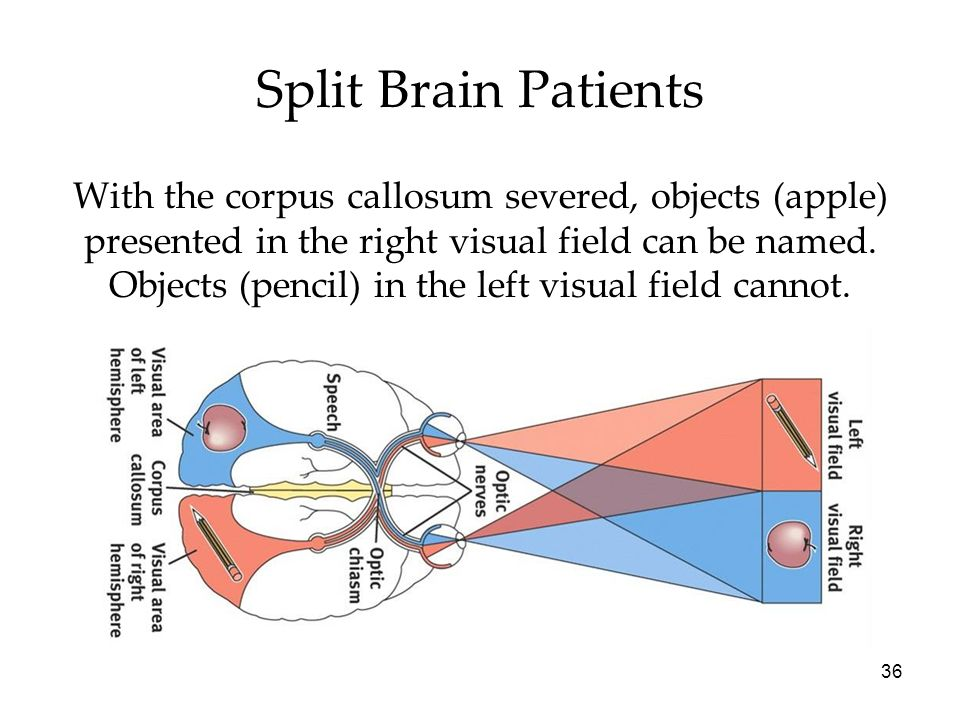 36 Split Brain Patients With the corpus callosum severed, objects (apple) presented in the right visual field can be named. Objects (pencil) in the le
