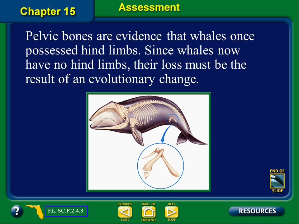 Chapter Assessment Question 10 Why is the presence of pelvic bones in the baleen whale considered to be evidence of evolution? FL: SC.F.2.4.3