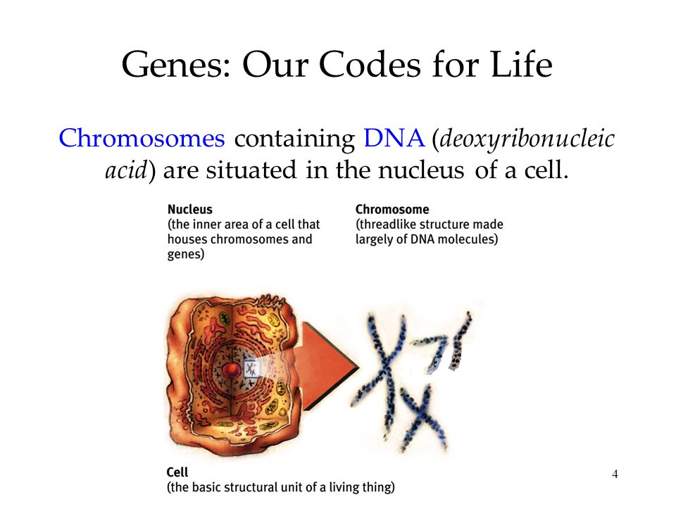 4 Genes: Our Codes for Life Chromosomes containing DNA (deoxyribonucleic acid) are situated in the nucleus of a cell.