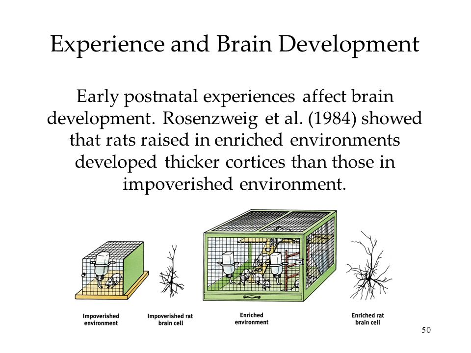 50 Experience and Brain Development Early postnatal experiences affect brain development. Rosenzweig et al. (1984) showed that rats raised in enriched