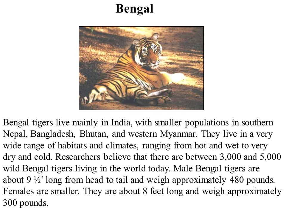 Bengal tigers live mainly in India, with smaller populations in southern Nepal, Bangladesh, Bhutan, and western Myanmar.