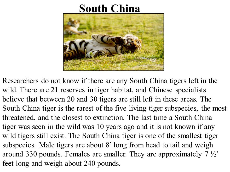 South China Researchers do not know if there are any South China tigers left in the wild.