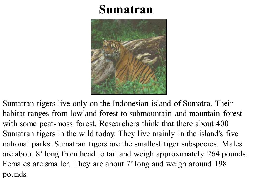 Sumatran Sumatran tigers live only on the Indonesian island of Sumatra.
