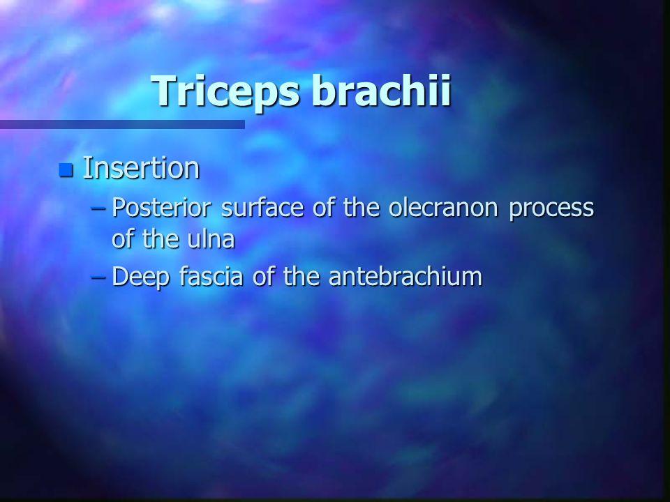 Triceps brachii n Insertion –Posterior surface of the olecranon process of the ulna –Deep fascia of the antebrachium
