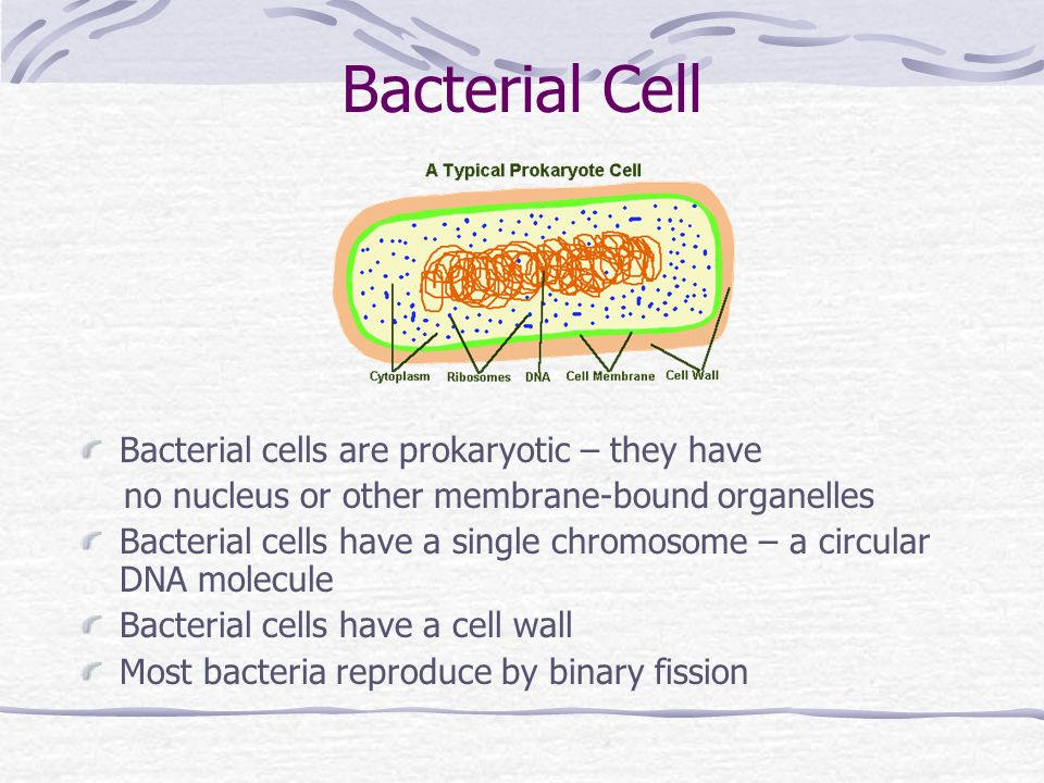 Bacterial Cell Bacterial cells are prokaryotic – they have no nucleus or other membrane-bound organelles Bacterial cells have a single chromosome – a