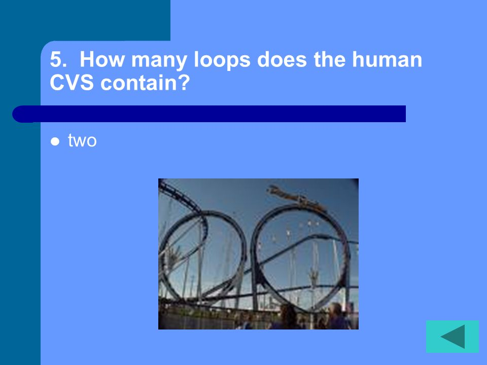 5. How many loops does the human CVS contain? two