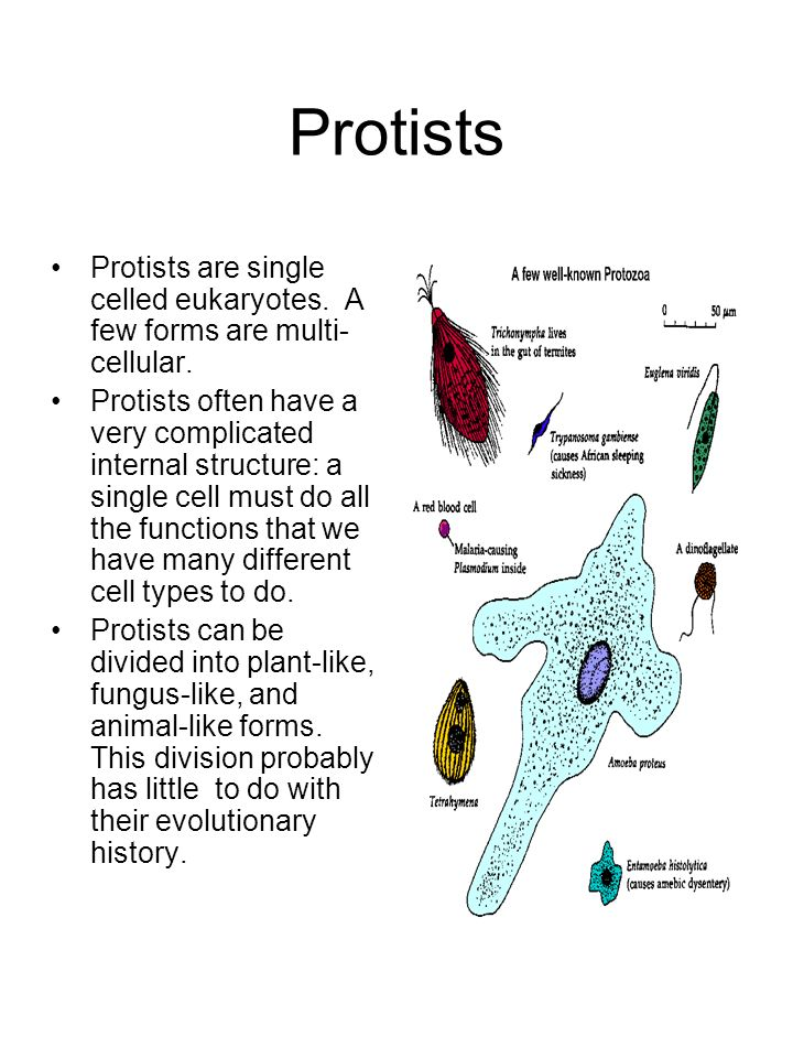 Protists Protists are single celled eukaryotes. A few forms are multi- cellular. Protists often have a very complicated internal structure: a single c