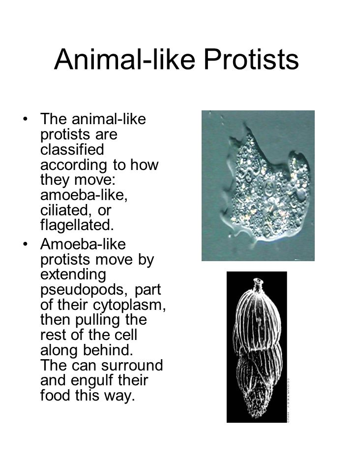 Animal-like Protists The animal-like protists are classified according to how they move: amoeba-like, ciliated, or flagellated. Amoeba-like protists m