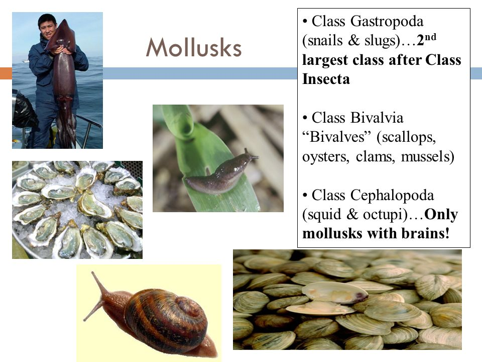 Mollusks Class Gastropoda (snails & slugs)…2 nd largest class after Class Insecta Class Bivalvia Bivalves (scallops, oysters, clams, mussels) Class Ce