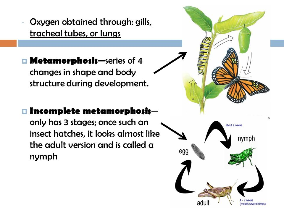 - Oxygen obtained through: gills, tracheal tubes, or lungs Metamorphosis series of 4 changes in shape and body structure during development. Incomplet