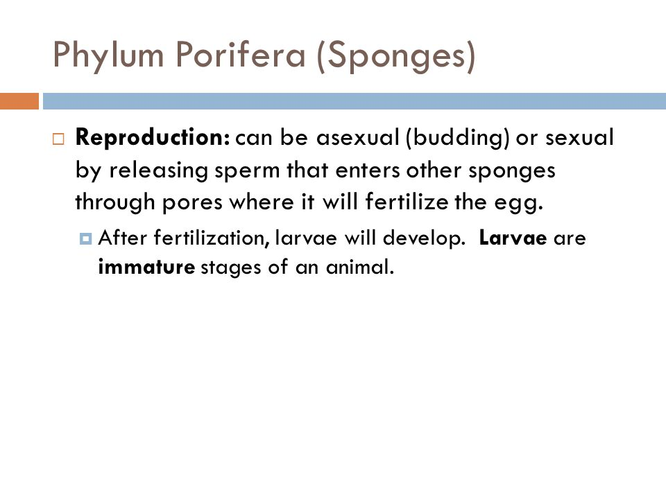 Phylum Porifera (Sponges) Reproduction: can be asexual (budding) or sexual by releasing sperm that enters other sponges through pores where it will fe