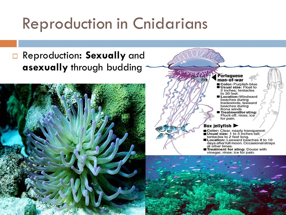 Reproduction in Cnidarians Reproduction: Sexually and asexually through budding