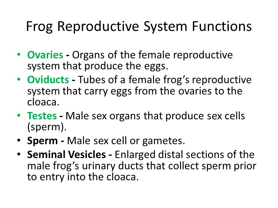 Frog Reproductive System Functions Ovaries - Organs of the female reproductive system that produce the eggs. Oviducts - Tubes of a female frogs reprod