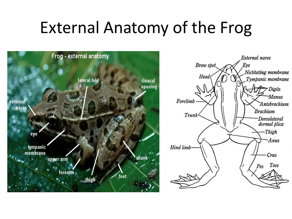 Functions of the External Anatomy of the Frog Nictitating Membrane - A transparent part of a frogs lower eyelid that moves over the eye to clean it and protect it.