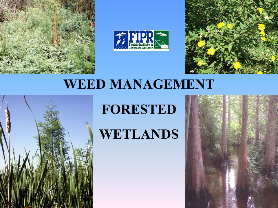 Weed Problems Early successional – let nature take its course Florida Institute of Phosphate Research Invasive, persistent exotics – nature needs some help