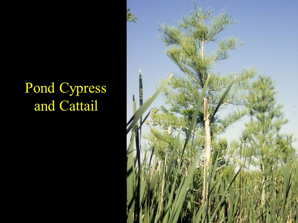 Pond Cypress and Cattail
