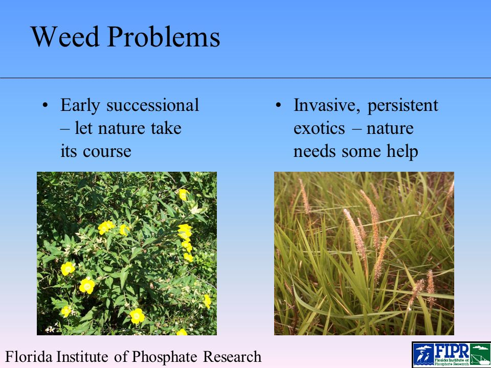 Primrose Willow and Cattail Florida Institute of Phosphate Research Considered as nuisance species by DEP Primrose willow a category I invasive according to FLEPPC