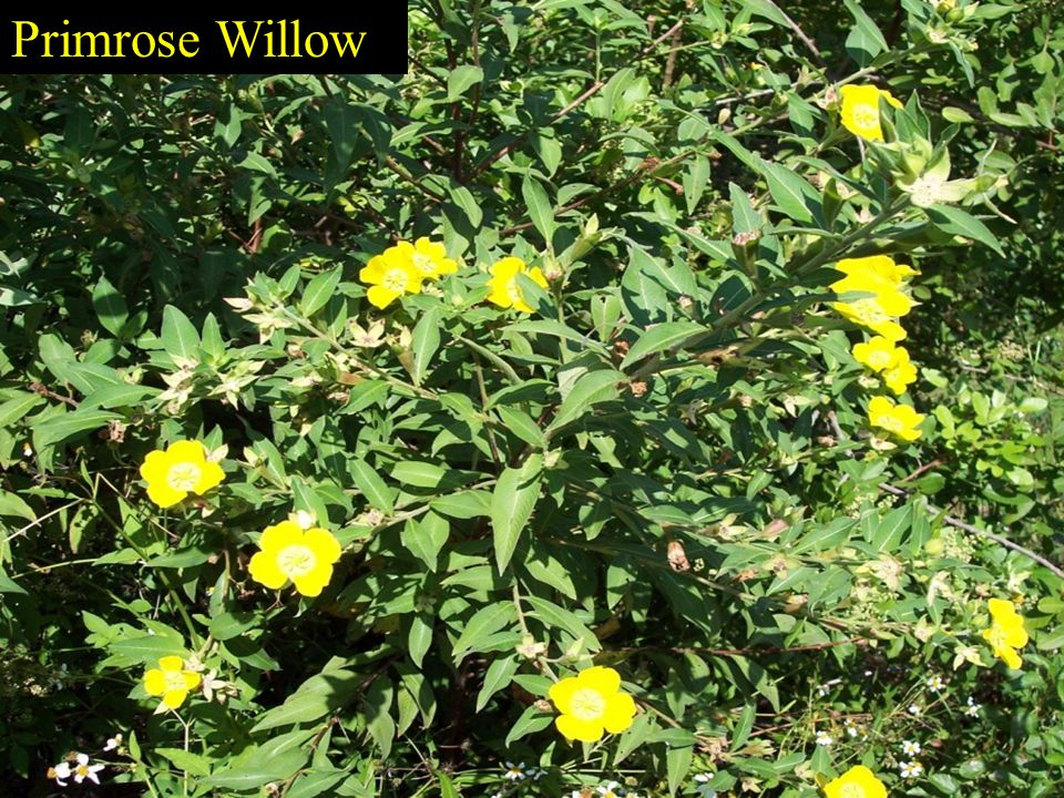 Shade Tolerant Understory With Primrose willow