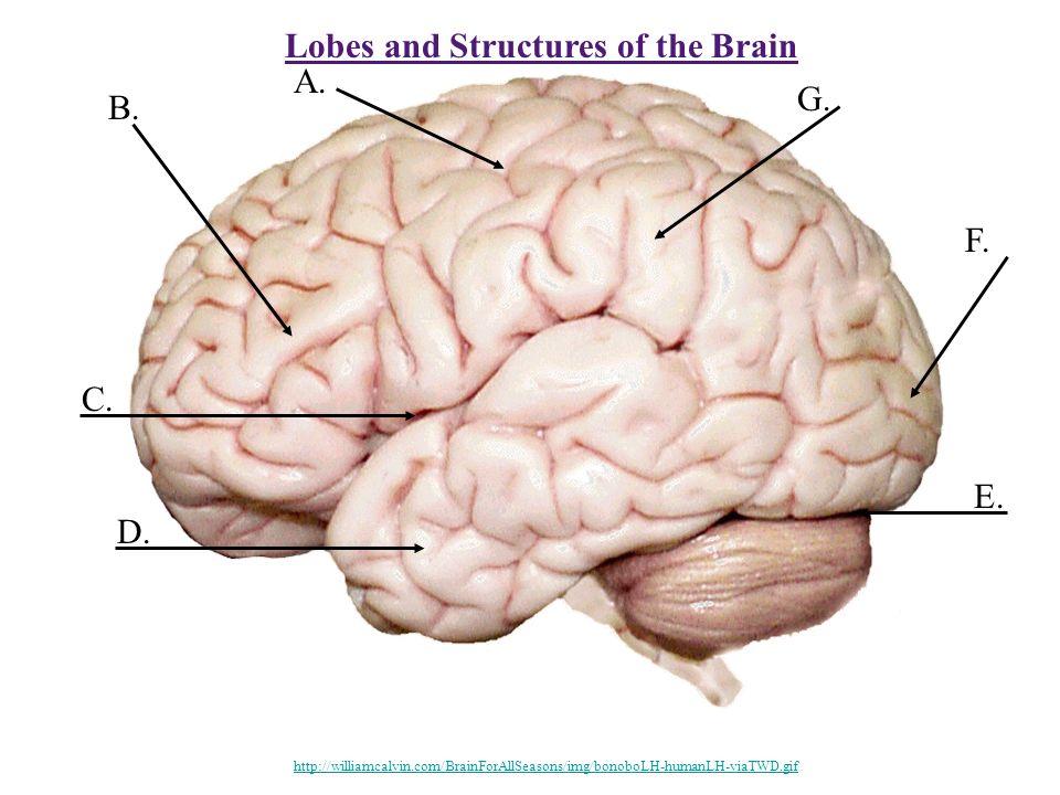 Lobes and Structures of the Brain B. A. C. D. E. F. G. http://williamcalvin.com/BrainForAllSeasons/img/bonoboLH-humanLH-viaTWD.gif