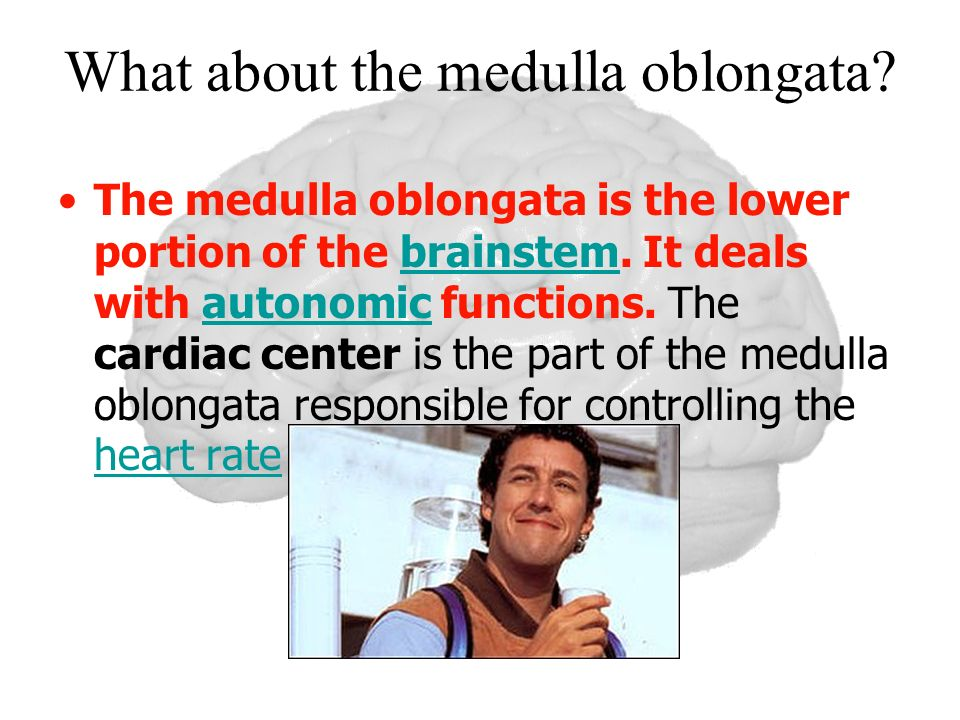 What about the medulla oblongata? The medulla oblongata is the lower portion of the brainstem. It deals with autonomic functions. The cardiac center i