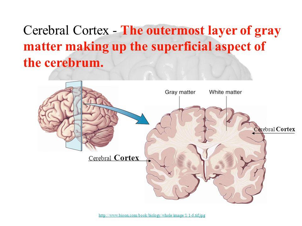 Cerebral Cortex Cerebral Cortex - The outermost layer of gray matter making up the superficial aspect of the cerebrum. http://www.bioon.com/book/biolo