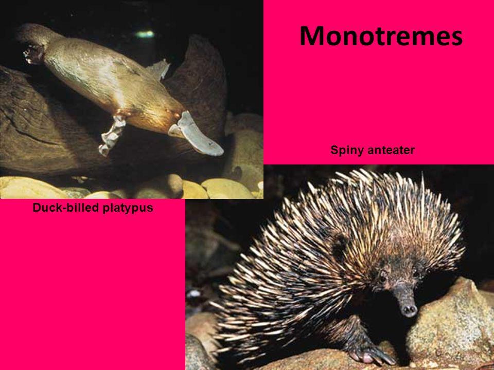 Predator and Prey Predator of: Prey of : Cray fish Small frogs Insects worms Crocodiles Tasmanian devils Sharks