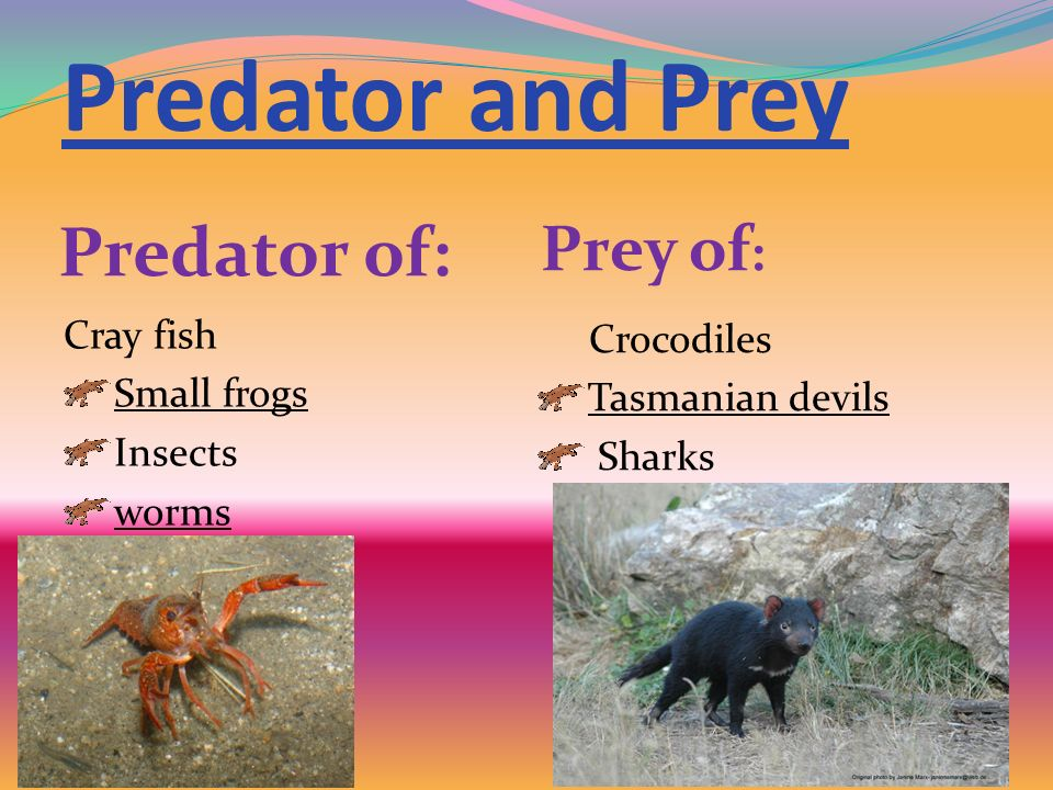 Predator and Prey Predator of: Prey of : Cray fish Small frogs Insects worms Crocodiles Tasmanian devils Sharks
