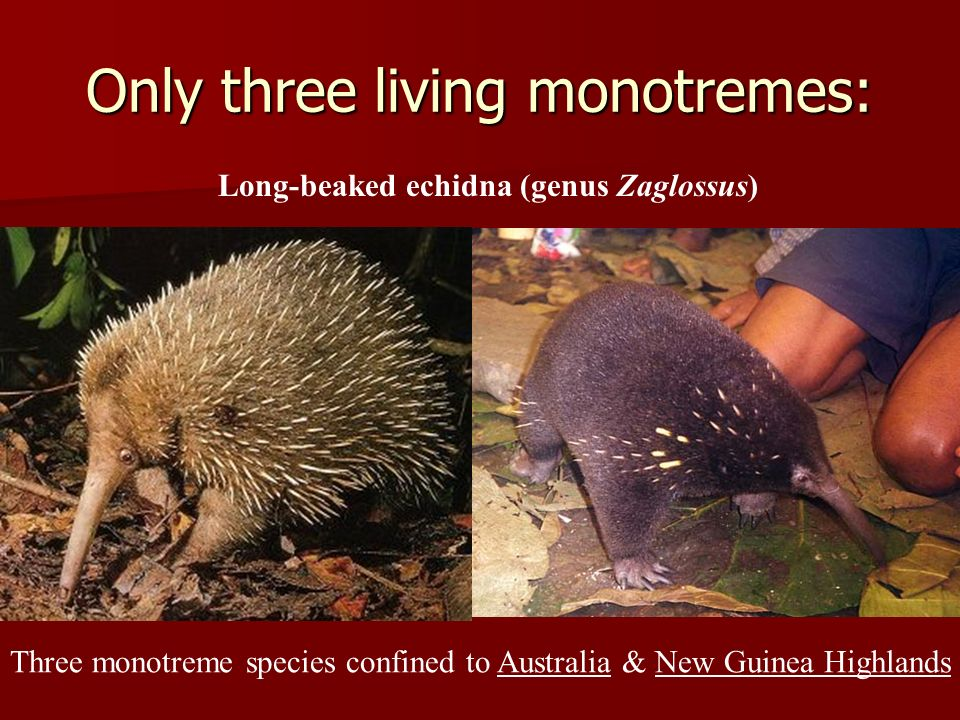 Only three living monotremes: Long-beaked echidna (genus Zaglossus) Three monotreme species confined to Australia & New Guinea Highlands