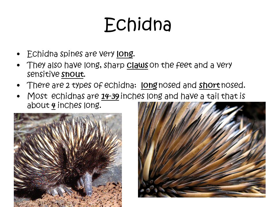 Echidna Echidna spines are very long. They also have long, sharp claws on the feet and a very sensitive snout. There are 2 types of echidna: long nose