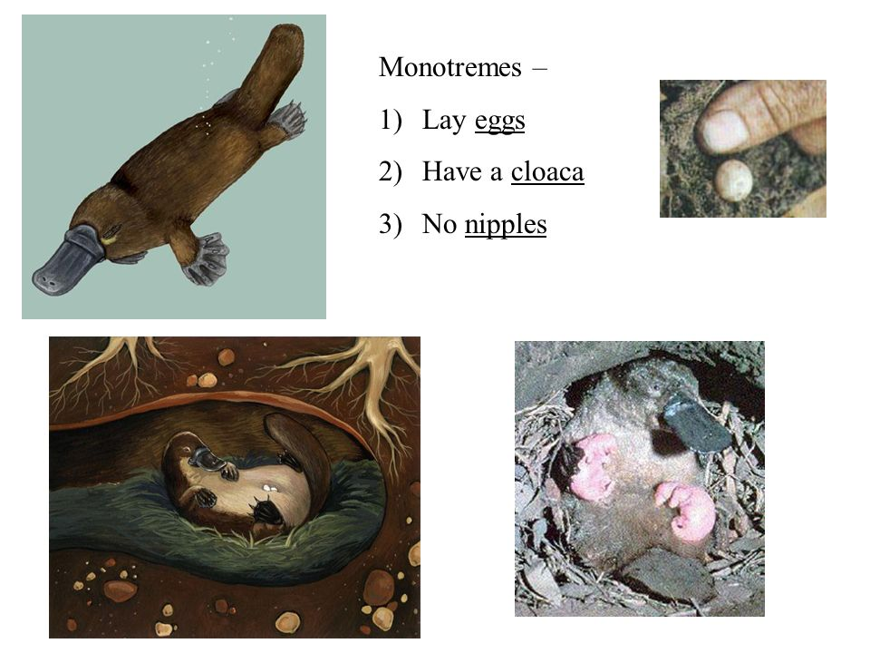Physical Description Platypuses… are about the size of a household cat and weigh about 1 – 2 kilograms.