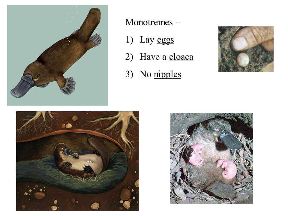 Monotremes Monotremes are the most primitive mammals.