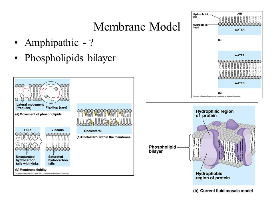 Membrane Model Amphipathic - ? Phospholipids bilayer