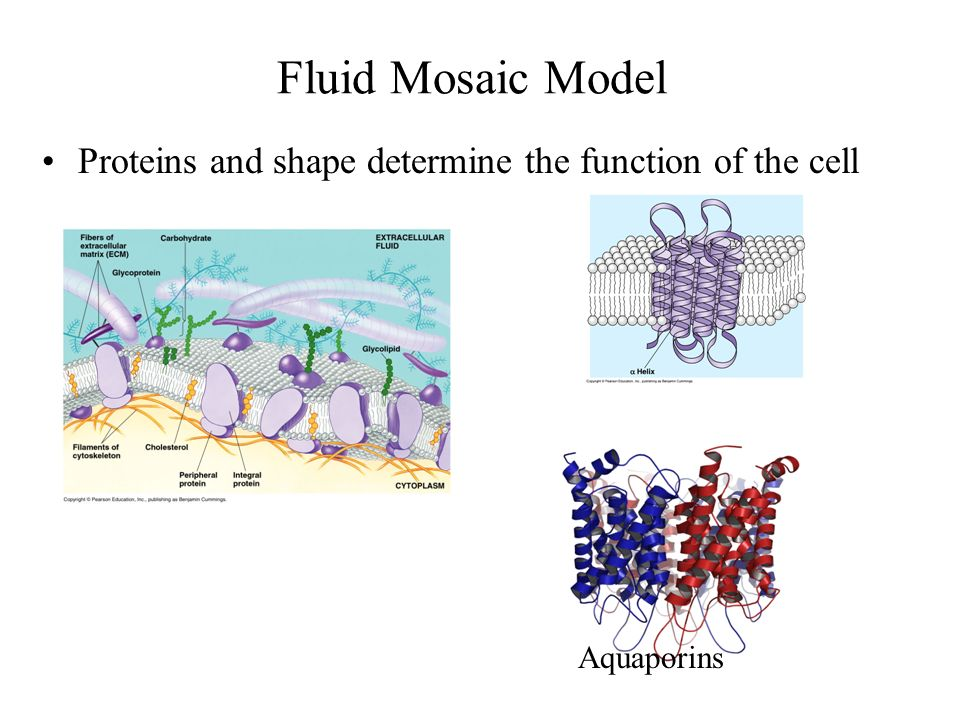 Fluid Mosaic Model Proteins and shape determine the function of the cell Aquaporins