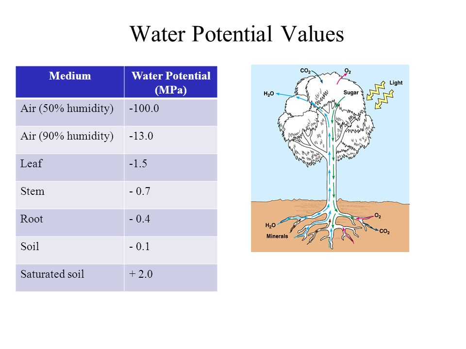 Water Potential Values MediumWater Potential (MPa) Air (50% humidity)-100.0 Air (90% humidity)-13.0 Leaf-1.5 Stem- 0.7 Root- 0.4 Soil- 0.1 Saturated s