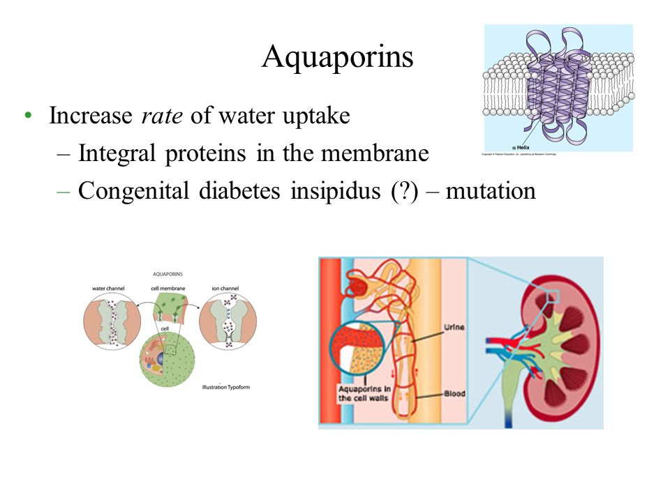 Increase rate of water uptake –Integral proteins in the membrane –Congenital diabetes insipidus (?) – mutation Aquaporins