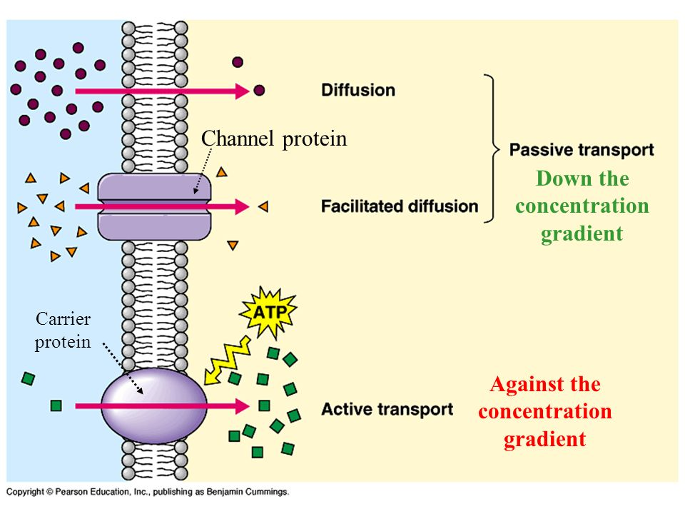 Channel protein Carrier protein Down the concentration gradient Against the concentration gradient