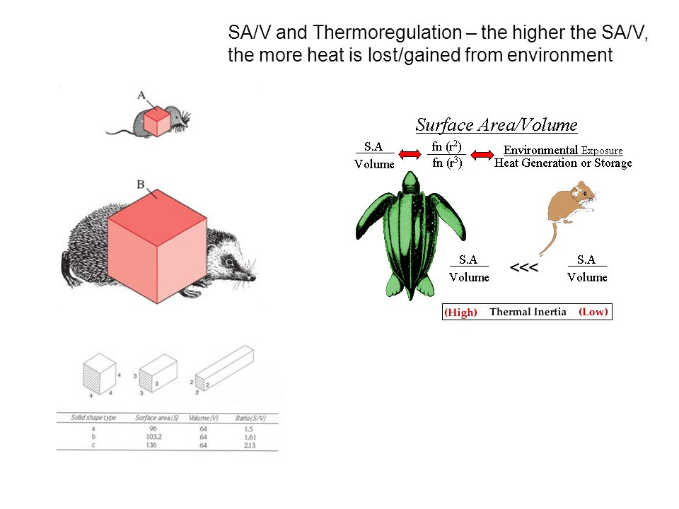 SA/V and Thermoregulation – the higher the SA/V, the more heat is lost/gained from environment