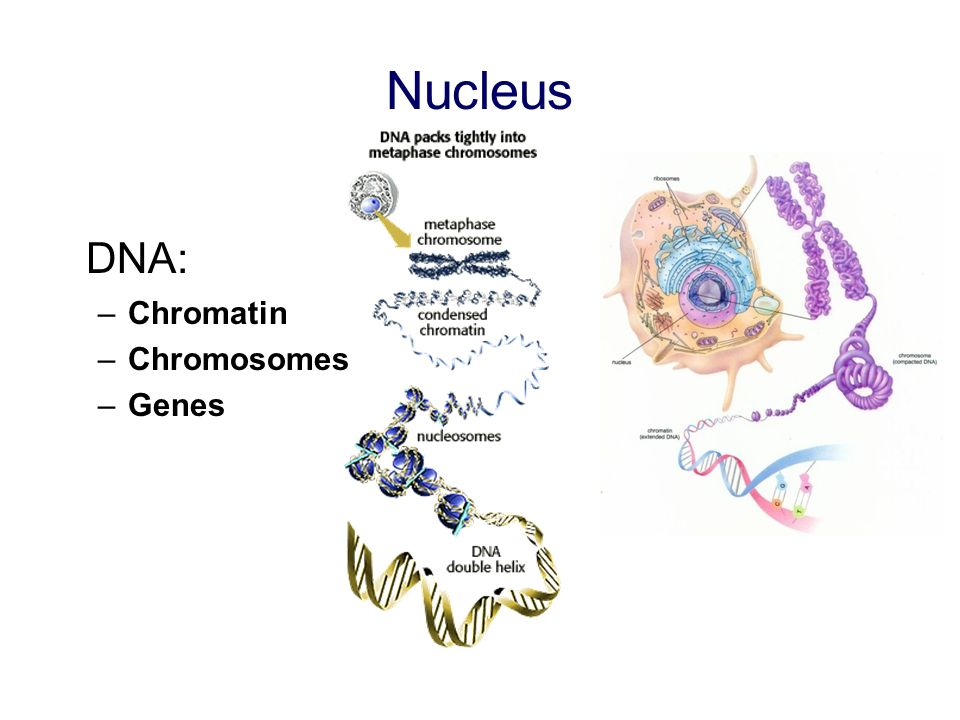 Nucleus DNA: –Chromatin –Chromosomes –Genes